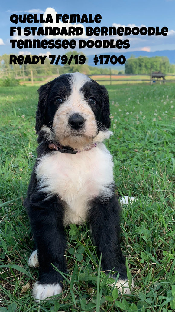 Tennessee Doodles | AVAILABLE PUPPIES